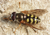 Dasysyrphus venustus
