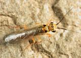 Xyelid Wasps -  Xyelidae