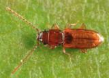 Placonotus modestus