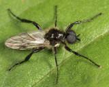 Bibio albipennis