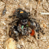 Bold Jumper eating a bee - Phidippus audax