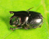 Onthophagus orpheus (male)
