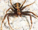 Elegant Crab Spider - Xysticus elegans (male)