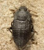 Alaetrinus minimus