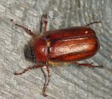 Phyllophaga longispina