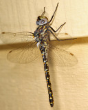Harlequin Darner attracted to porch light - Gomphaeschna furcillata