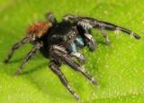 Phidippus princeps (male)