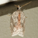 3748 – White-line Leafroller Moth – Amorbia humerosana