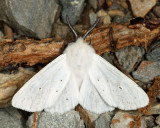 8134 - Agreeable Tiger Moth - Spilosoma congrua