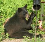 Black Bear - Ursus americanus