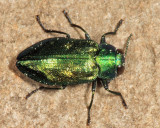 Metallic Wood-boring Beetles - Genus Chrysobothris
