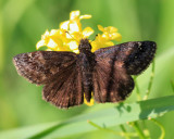 Wild Indigo Duskywing - Erynnis baptisiae