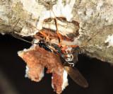 Rhyssella nitida