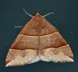 8727 - maple looper moth - Parallelia bistriaris