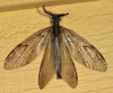 Spring Fishfly - Chauliodes rastricornis