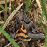 8619 - Occult Drasteria Moth - Drasteria occulta