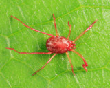 Erythraeinae