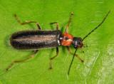 Rhagonycha scitula
