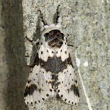 7936 - White Furcula - Furcula borealis