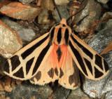 8169 - Harnessed Tiger Moth - Apantesis phalerata
