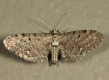 7488 - Eupithecia tripunctaria
