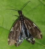Nigronia serricornis