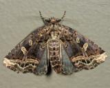 9056 - Waterlily Owlet - Homophoberia cristata