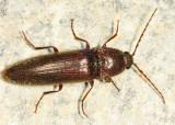 Melanotus castanipes