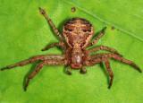 Xysticus elegans (female)