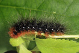 8166 - Great Tiger Moth - Arctia caja