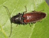 Liotrichus spinosus