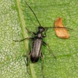 Grammoptera haematites