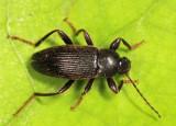 Lobopoda nigrans
