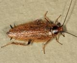 Ectobius lapponicus