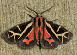 8188 - Figured Tiger Moth - Grammia figurata