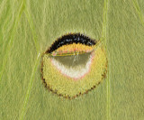 7758 - Luna Moth - Actias luna (eyespot close up)