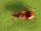 Tachys rhodeanus