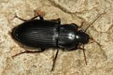 Anisodactylus nigrita