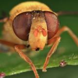 Parhelophilus sp.