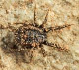 Caeculidae