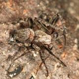 Eustala sp. (male)