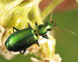 Ground Beetles - Tribe Lebiini