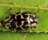Knab's Leaf Beetle - Chrysomela knabi