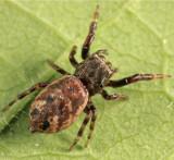Zygoballus nervosus (female)