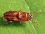 Laemophloeus fasciatus (teneral)
