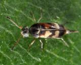 Falsomordellistena pubescens