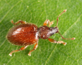 Hairy Spider Weevil - Barypeithes pellucidus