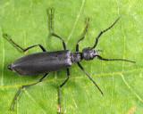 Dark Blister Beetle - Epicauta murina