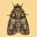 9249 - Raspberry Bud Dagger Moth - Acronicta increta