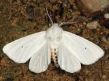 8137 - Virginia Tiger Moth - Spilosoma virginica